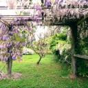 Wisteria at home