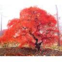 Autumn tree, NY